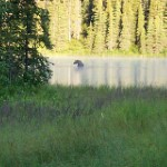 Moose in Juneau Lake