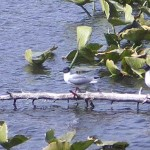 Birds on Kelly Lake