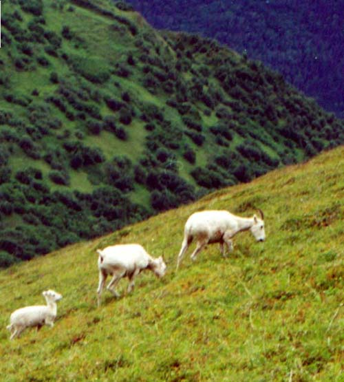 Dall sheep on slope